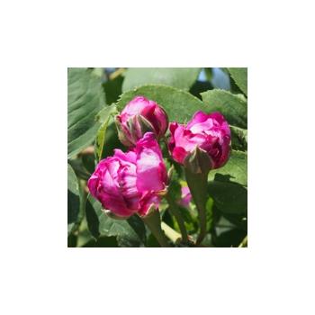 R - wie Rose
