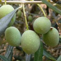 Olivenölseife
