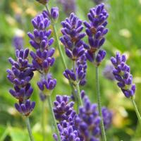 L - wie Lavendel