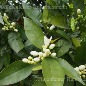 Clementinen-Petitgrain BIO (3 ml)