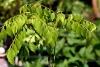 Curryblätterbaum (5 ml)