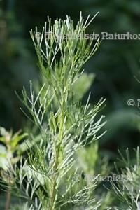Eberraute (3 ml)