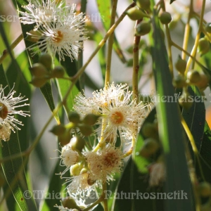 """Eukalyptus """"Crypton"""" (3 ml)"""