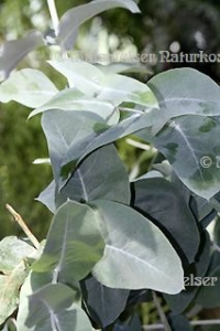 "Eukalyptus extra BIO ""young"" (5 ml)"