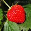 Erdbeernussöl
