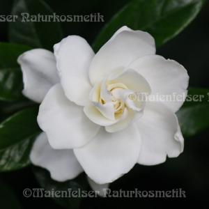 Gardenia Enfleurage (1 ml)