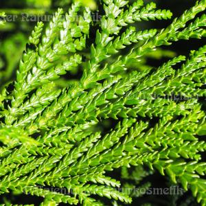 Hibawood (1 ml)