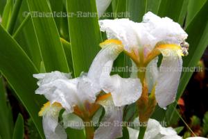 Iris germanica abs. 1a (1 g)