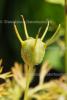 Kalonji Resinoid (3 ml)