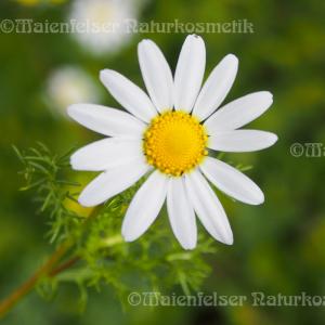 Kamille multicaulis (2 ml)