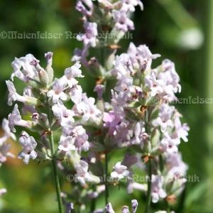 Lavendel thai. (5 ml)