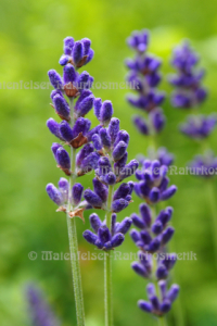 Lavendel abs. (5 ml)
