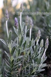 Lavendel - Grüner Zahn-Lavendel (3 ml)