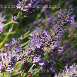 Lavendel - Cape-Lavendel (5 ml)