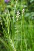 Lavendel - Spik-Lavendel wild (5 ml)