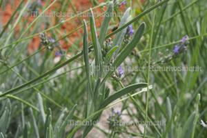 Lavendel - Spik-Lavendel extra BIO (5 ml)