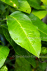 Limonen Petitgrain BIO, äth. Öl (2 ml)