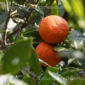 Mandarine rot spezial BIO (10 ml)
