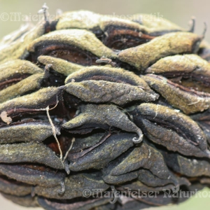 Magnolienknospe (5 ml)