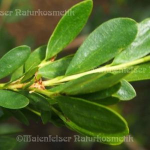 Marsh Honey Myrte (3 ml)