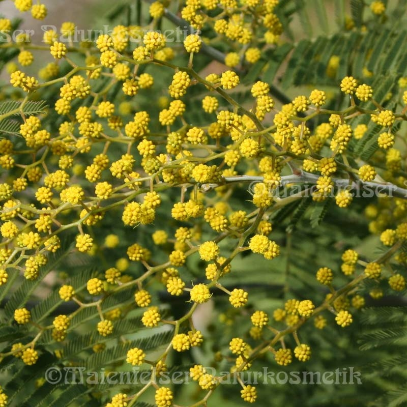 Mimose abs. pur (1 ml)