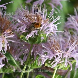 Monarde (Wild-Bergamotte) (2 ml)
