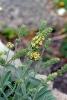 Moursalski CO2-Extrakt (Sideritis) (2 ml)