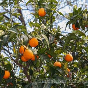 Orange - Blutorange BIO (10 ml)
