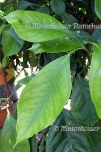 Orangenblätter (Petitgrain) 1a BIO (10 ml)