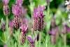 Lavendel - Schopflavendel BIO (5 ml)