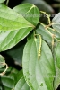 "Pfeffer grün ""fresh"" (5 ml)"
