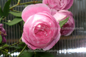 Rose concrete 1a (1 g)