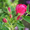 Rose - Apfel-Rose (1 ml)