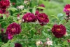 Rose - Antik-Rose BIO (1 ml)