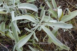 Salbei CO2 - Griechenland (5 ml)