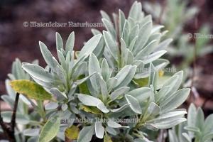 Salbei - Lavendel-Salbei (10 ml)