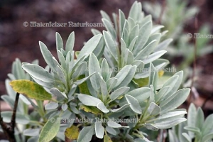 Salbei - Lavendel-Salbei BIO (10 ml)