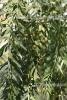 Schinus molle BIO (3 ml)