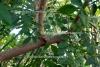 Stachelesche, amerikanisch (3 ml)