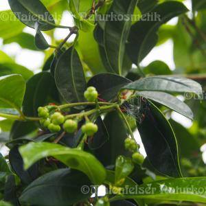Surinamkirsche BIO (1 ml)