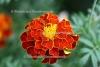 Tagetes - Südamerika (3 ml)