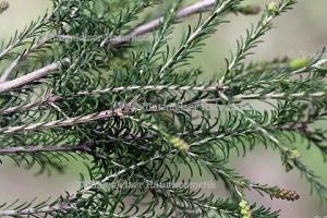 "Tea Tree ""Rosalina"" (10 ml)"