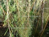 """Tea Tree """"unci"""" (5 ml)"""