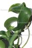 Vanille Bourbon CO2-Extrakt, spezial BIO (1 ml)