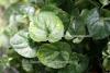 Veilchen abs. pur (1 ml)