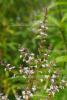 Verbena echt Bio, Korsika (1 ml)