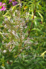 Verbena echt Bio, Marokko (1 ml)