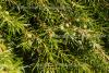 Wacholderbeeren (5 ml)