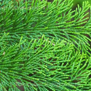 Zypresse, grün (Hinoki) (2 ml)