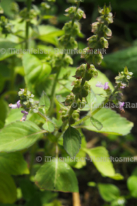 Basilikum Tulsi-Nord (3 ml)